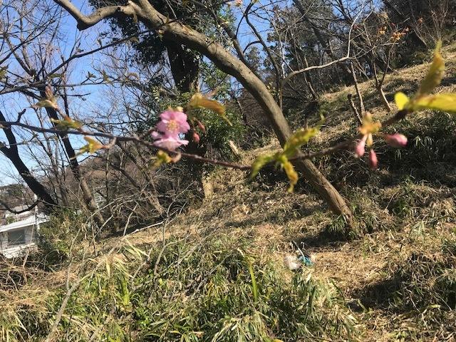 植樹した河津桜開花、ヤマザクラの芽も膨らむ2・5_c0014967_10104159.jpg