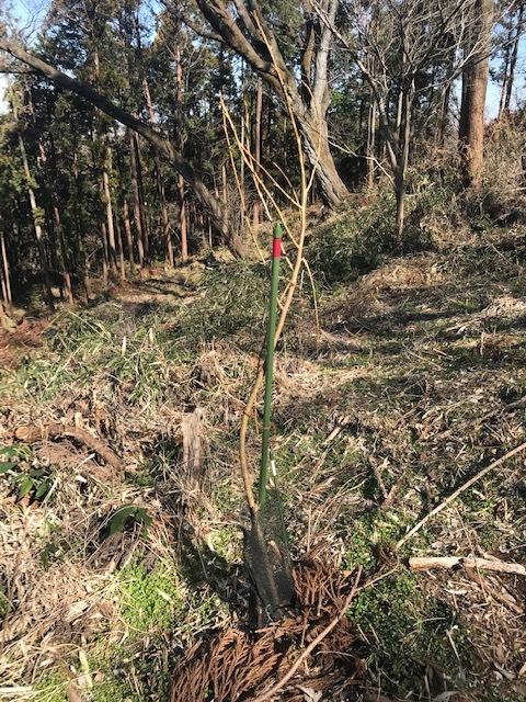 植樹した河津桜開花、ヤマザクラの芽も膨らむ2・5_c0014967_10115645.jpg