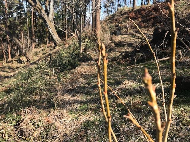 植樹した河津桜開花、ヤマザクラの芽も膨らむ2・5_c0014967_10121092.jpg