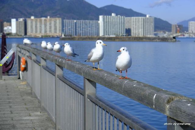 大津港のユリカモメ_b0055171_23275448.jpg