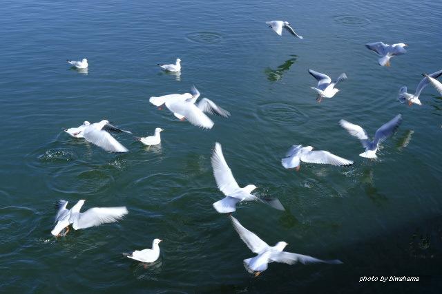 大津港のユリカモメ_b0055171_23291919.jpg