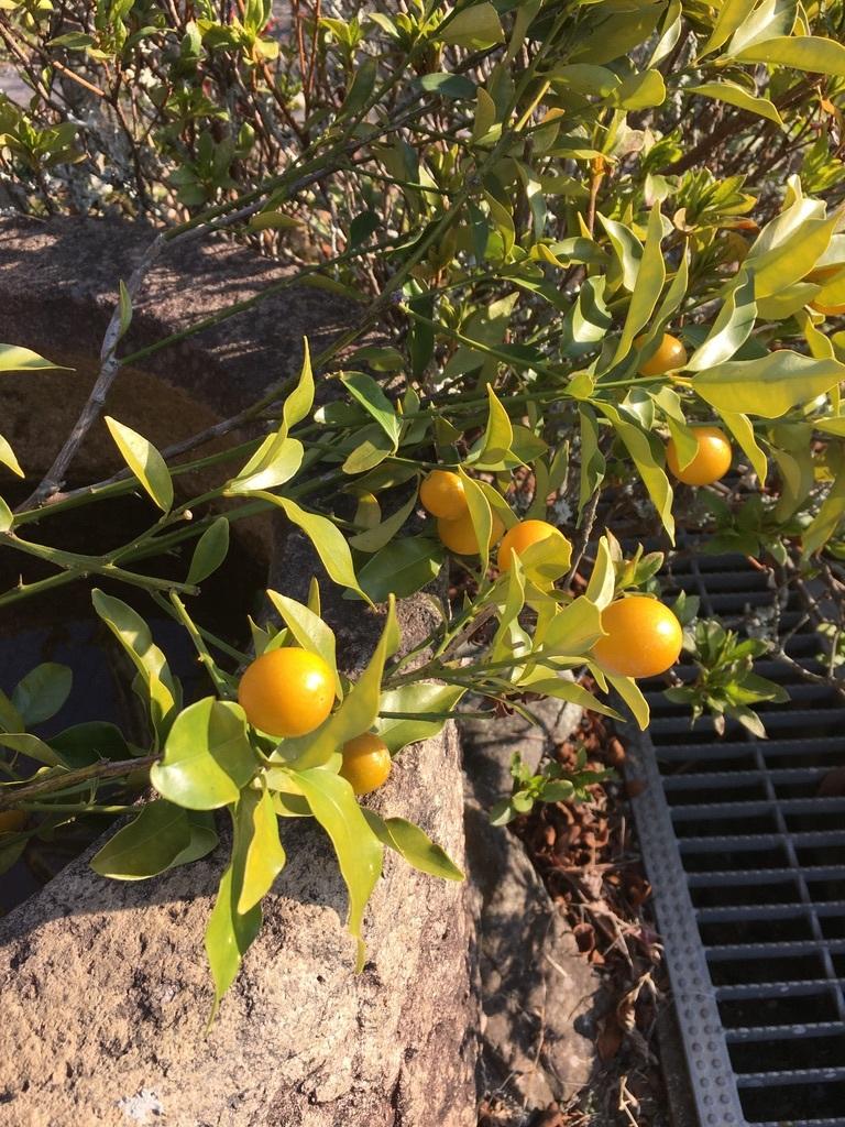 金柑の枝をフラスコに挿して_c0334574_14370922.jpeg