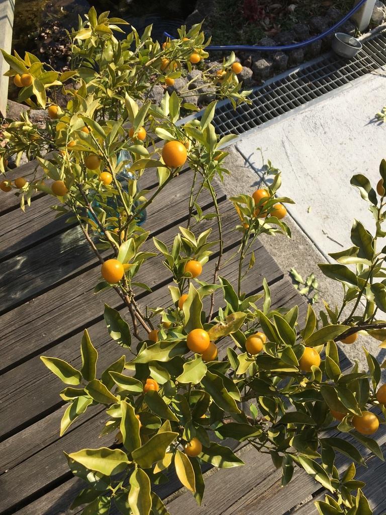 金柑の枝をフラスコに挿して_c0334574_14373523.jpeg