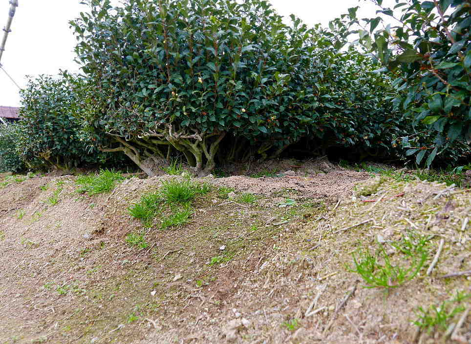 茶園 苦労に苦労を重ねたが行政はそれを削る  The tea garden was created in a series of struggles._a0391480_20543500.jpg