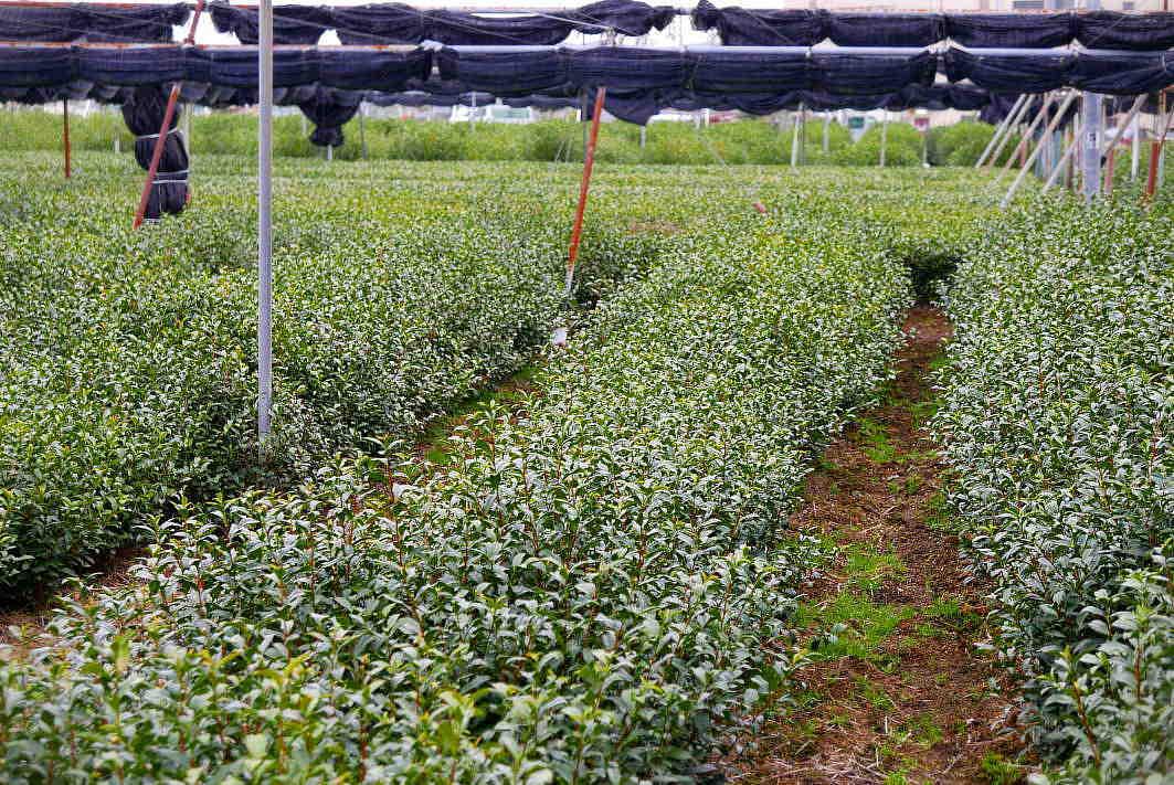 茶園 苦労に苦労を重ねたが行政はそれを削る  The tea garden was created in a series of struggles._a0391480_20544524.jpg
