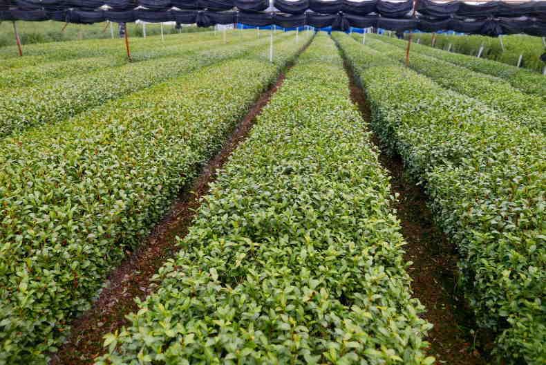 茶園 苦労に苦労を重ねたが行政はそれを削る  The tea garden was created in a series of struggles._a0391480_20550763.jpg