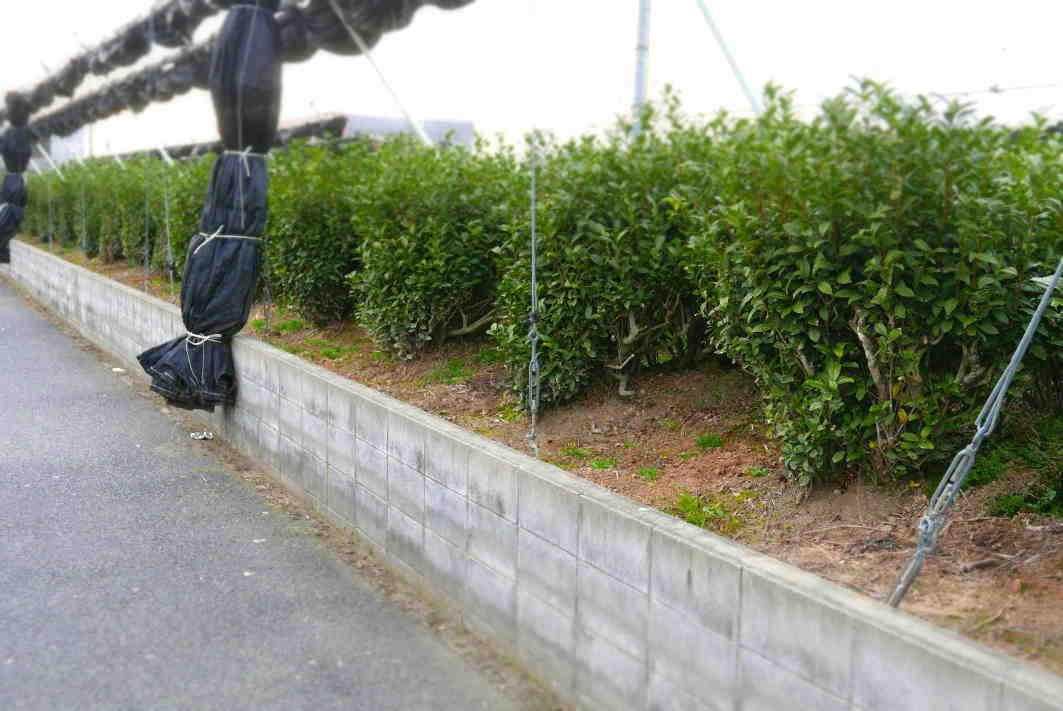 茶園 苦労に苦労を重ねたが行政はそれを削る  The tea garden was created in a series of struggles._a0391480_20551610.jpg