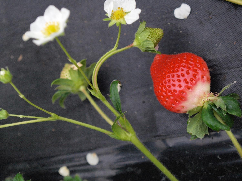 苺の酎ハイ♪_f0232994_10342061.jpg