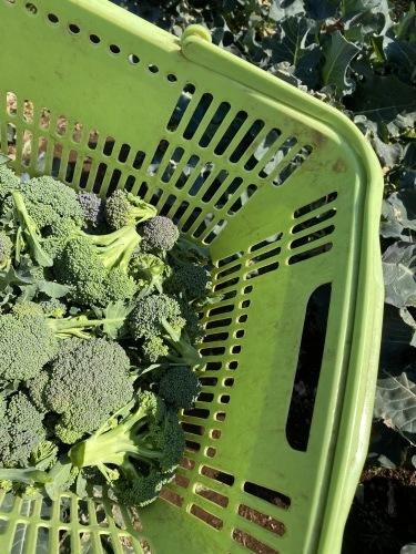 今朝はブロッコリーの脇芽&アスパラ菜の花中心に収穫です_c0222448_11234077.jpg