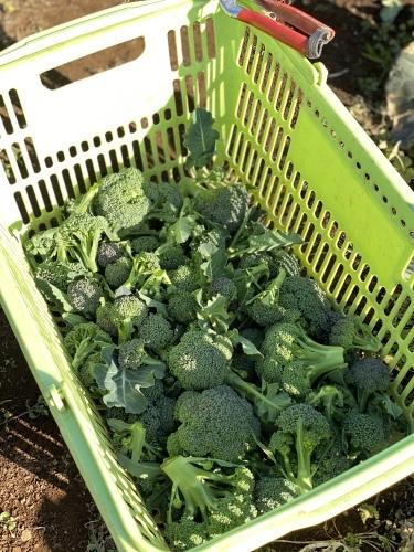 今朝はブロッコリーの脇芽&アスパラ菜の花中心に収穫です_c0222448_11235294.jpg