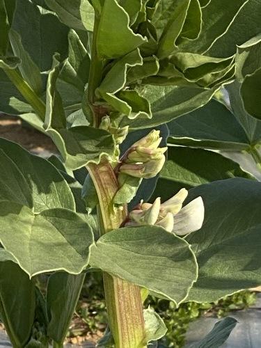 今朝はブロッコリーの脇芽&アスパラ菜の花中心に収穫です_c0222448_11240314.jpg