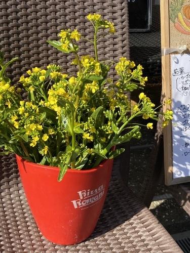 今朝はブロッコリーの脇芽&アスパラ菜の花中心に収穫です_c0222448_11241646.jpg