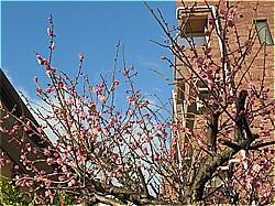 梅が満開_c0087349_04304664.jpg