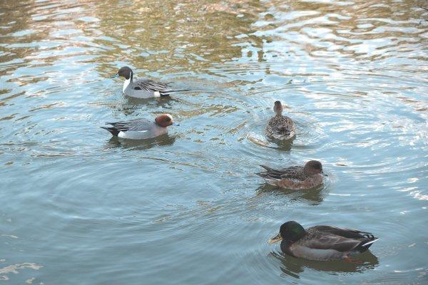 鴨のいる池 X-E2 XF18-55mm_e0129750_14160051.jpg