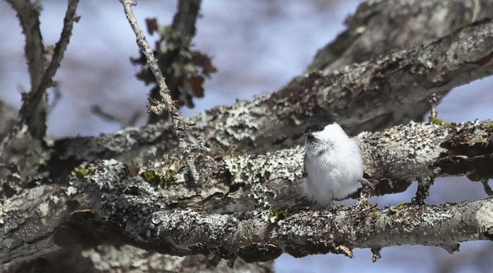 冬のコガラ_c0217255_15042565.jpg