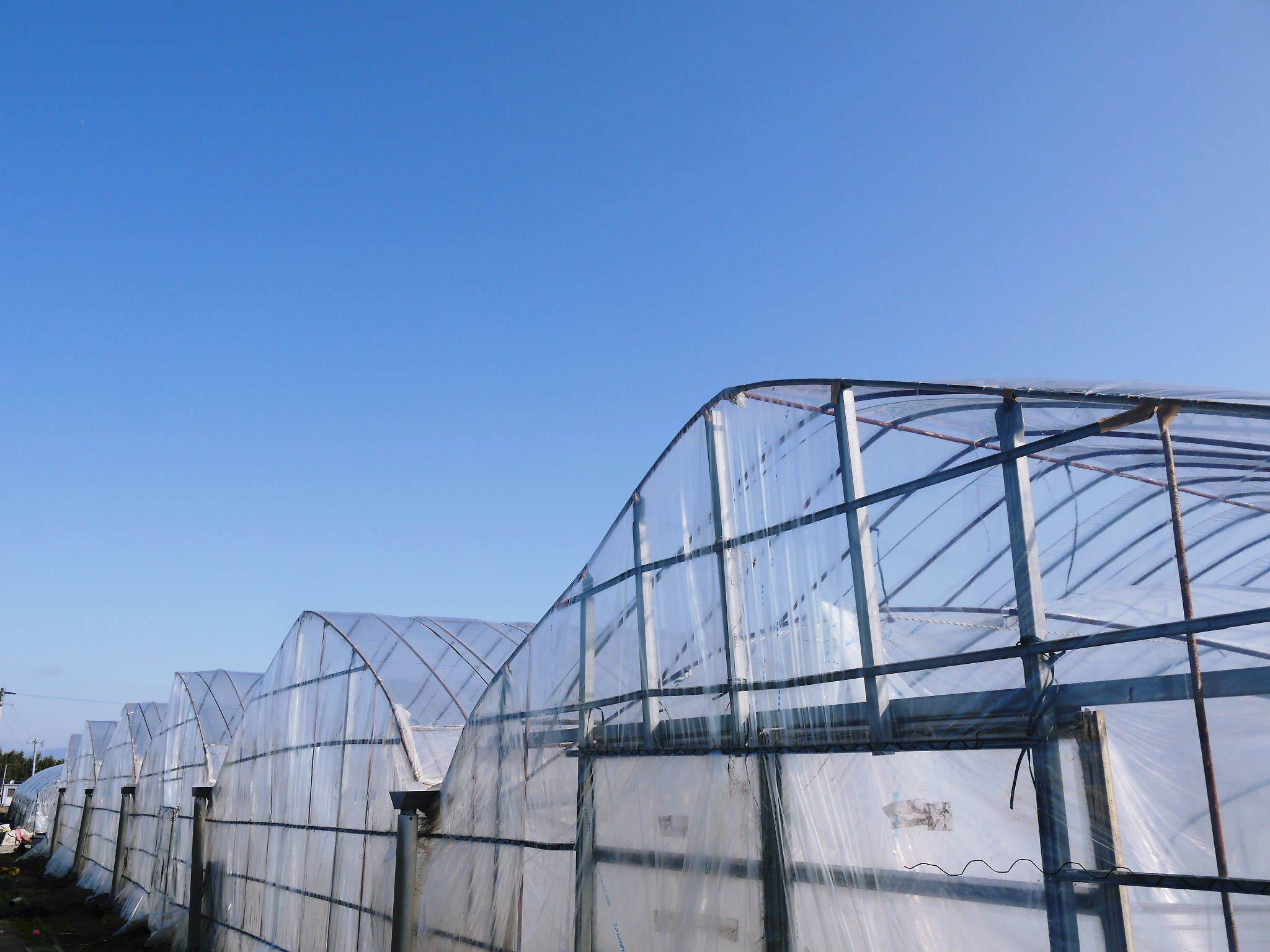 夢スイカ スイカのつる引き後の様子(2020) 小玉は3本仕立ての2玉収穫、大玉は2本仕立ての1玉収穫!_a0254656_16510024.jpg