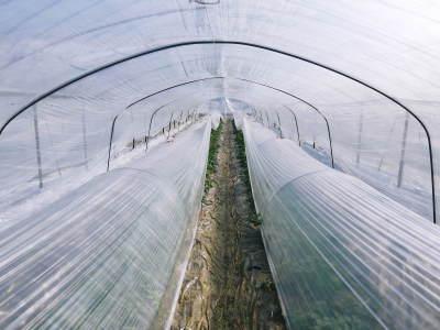 夢スイカ スイカのつる引き後の様子(2020) 小玉は3本仕立ての2玉収穫、大玉は2本仕立ての1玉収穫!_a0254656_16521781.jpg