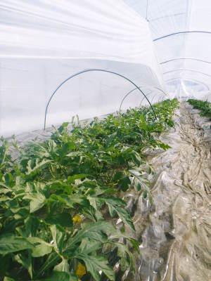 夢スイカ スイカのつる引き後の様子(2020) 小玉は3本仕立ての2玉収穫、大玉は2本仕立ての1玉収穫!_a0254656_17071812.jpg