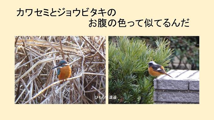 カワセミとジョウビタキのお腹の色って_c0222861_1555699.jpg