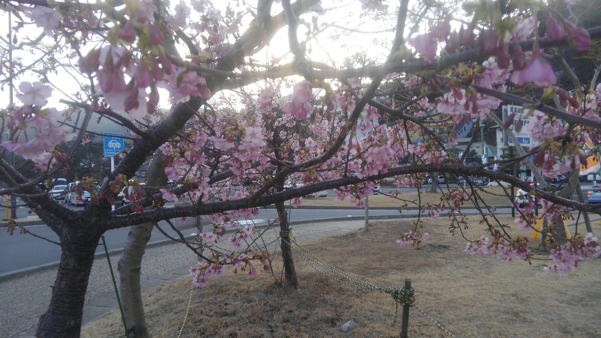 寒桜満開_d0355580_19063877.jpg