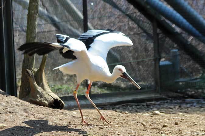 多摩動物公園の鳥たち~ナベコウとニホンコウノトリの飛行(March 2019)_b0355317_20574308.jpg