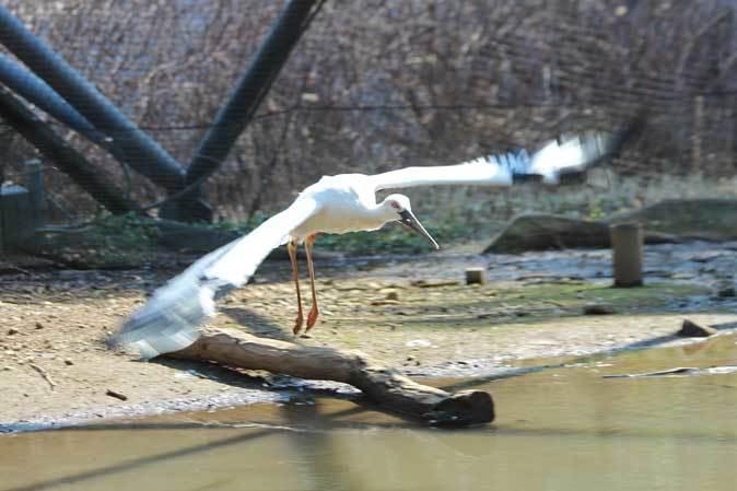 多摩動物公園の鳥たち~ナベコウとニホンコウノトリの飛行(March 2019)_b0355317_20592935.jpg