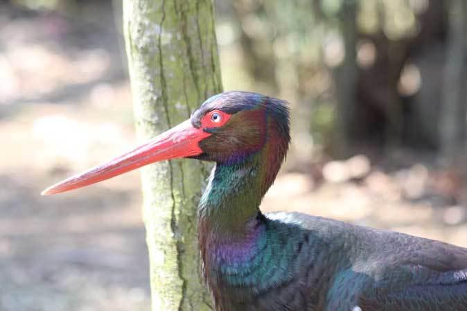 多摩動物公園の鳥たち~ナベコウとニホンコウノトリの飛行(March 2019)_b0355317_21005231.jpg
