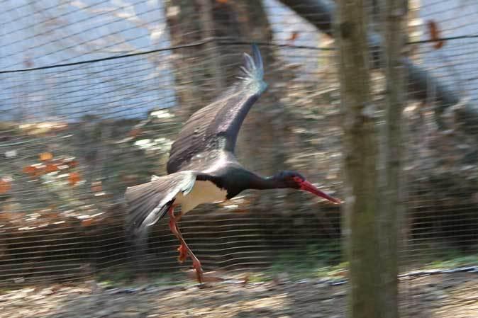 多摩動物公園の鳥たち~ナベコウとニホンコウノトリの飛行(March 2019)_b0355317_21023547.jpg