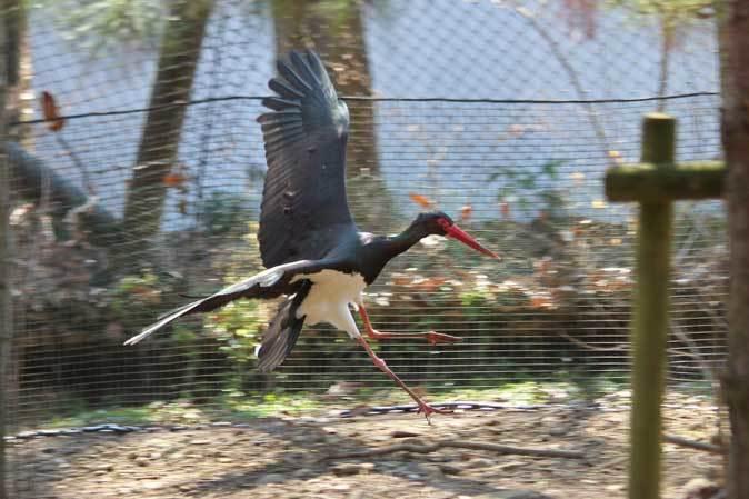 多摩動物公園の鳥たち~ナベコウとニホンコウノトリの飛行(March 2019)_b0355317_21030011.jpg