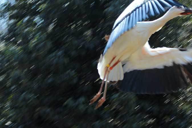 多摩動物公園の鳥たち~ナベコウとニホンコウノトリの飛行(March 2019)_b0355317_21161847.jpg