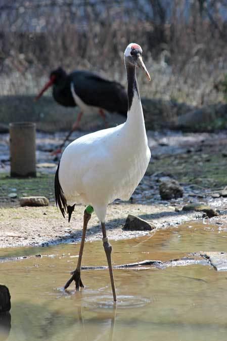 多摩動物公園の鳥たち~ナベコウとニホンコウノトリの飛行(March 2019)_b0355317_21194504.jpg