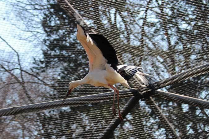 多摩動物公園の鳥たち~ナベコウとニホンコウノトリの飛行(March 2019)_b0355317_21211336.jpg