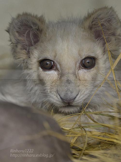 2020.1.19 東北サファリパーク☆ホワイトライオンのフクくん【White lion baby】_f0250322_1456272.jpg