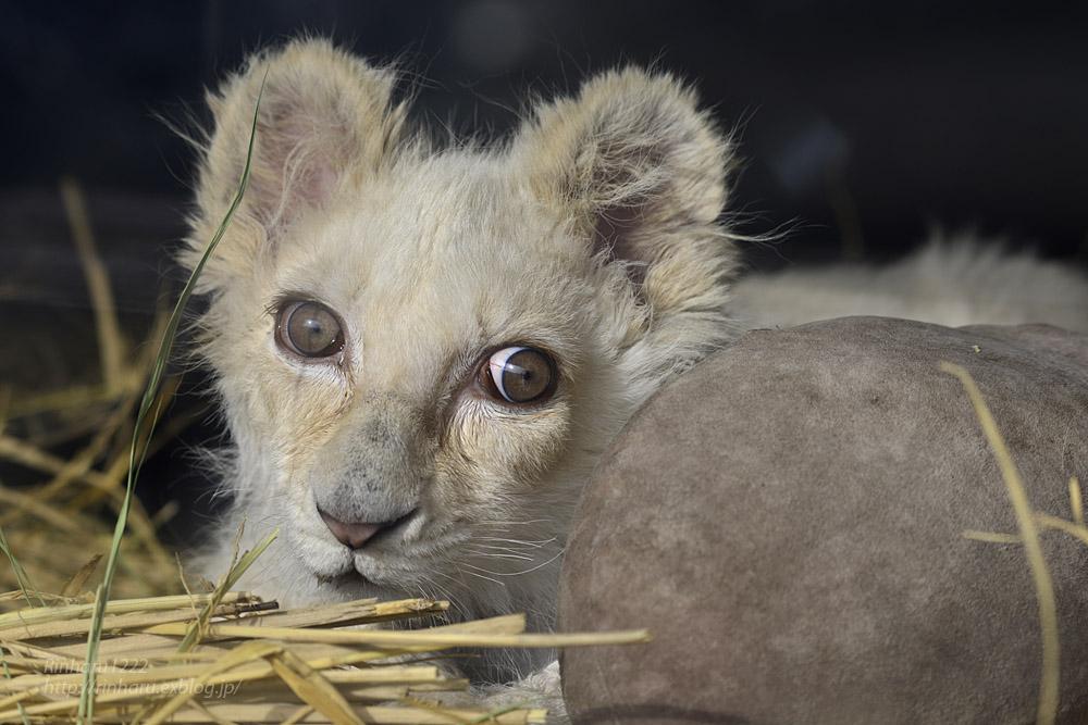 2020.1.19 東北サファリパーク☆ホワイトライオンのフクくん【White lion baby】_f0250322_14564524.jpg