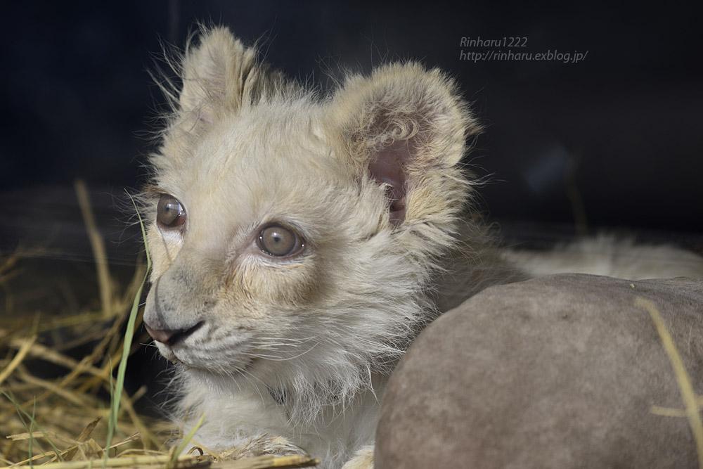 2020.1.19 東北サファリパーク☆ホワイトライオンのフクくん【White lion baby】_f0250322_14565410.jpg
