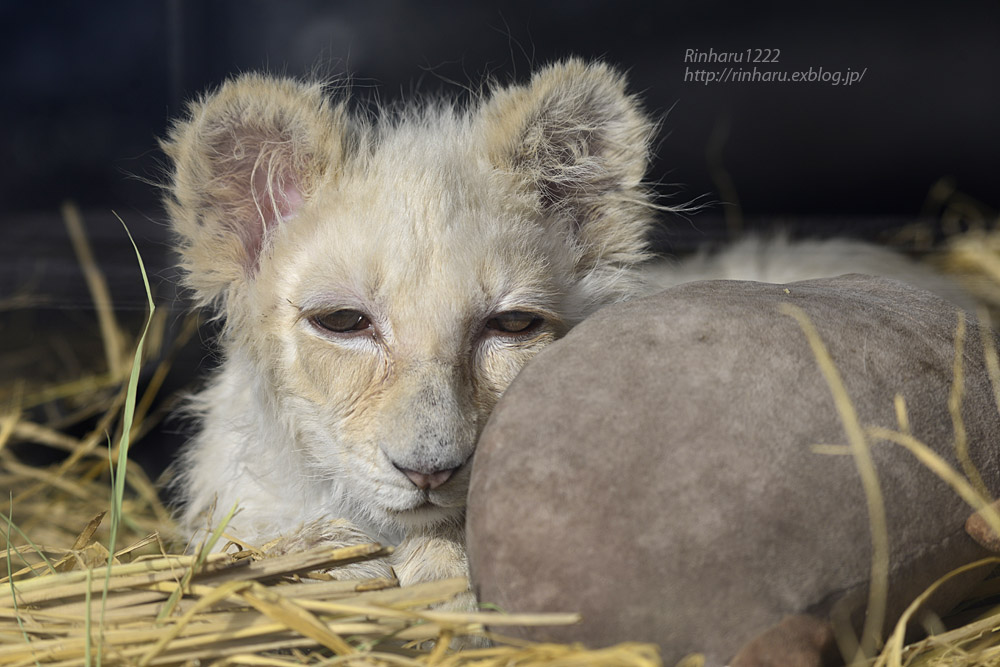 2020.1.19 東北サファリパーク☆ホワイトライオンのフクくん【White lion baby】_f0250322_14571060.jpg