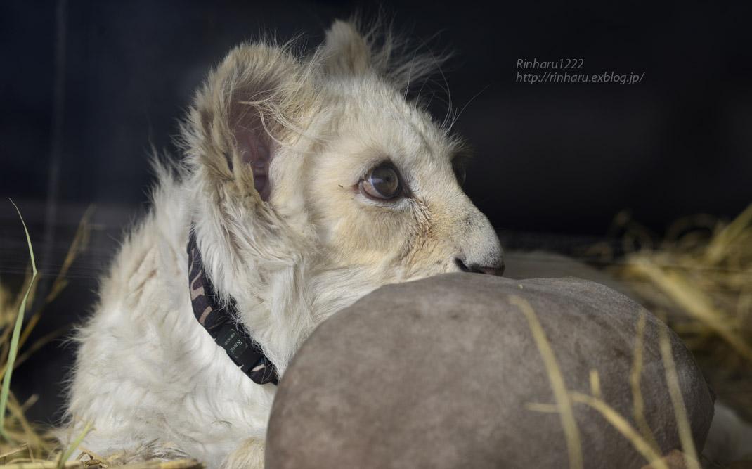 2020.1.19 東北サファリパーク☆ホワイトライオンのフクくん【White lion baby】_f0250322_1457124.jpg