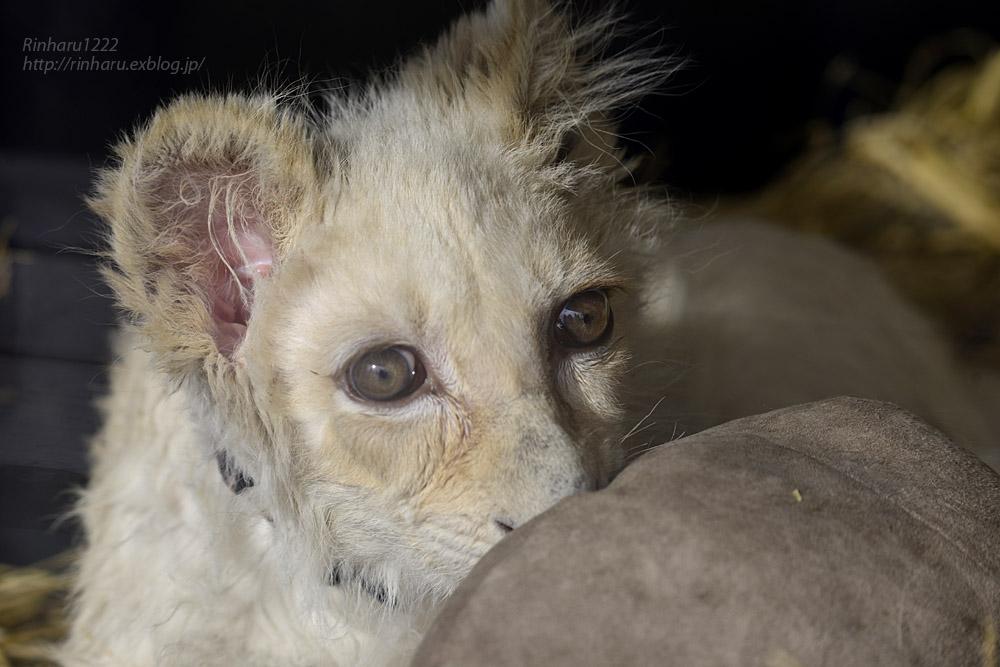 2020.1.19 東北サファリパーク☆ホワイトライオンのフクくん【White lion baby】_f0250322_14575840.jpg