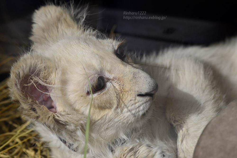 2020.1.19 東北サファリパーク☆ホワイトライオンのフクくん【White lion baby】_f0250322_14581233.jpg