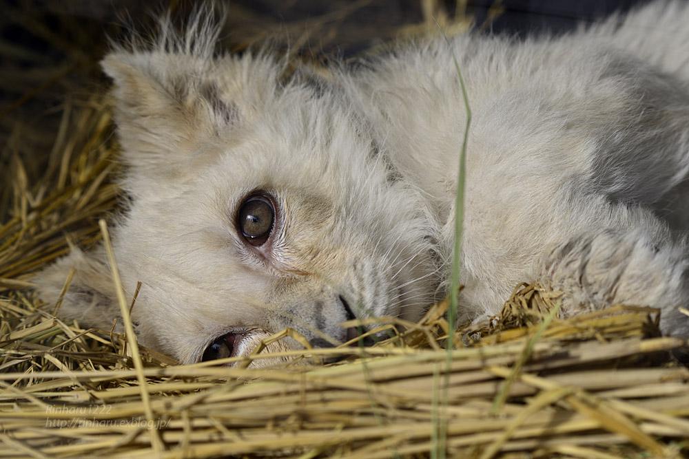 2020.1.19 東北サファリパーク☆ホワイトライオンのフクくん【White lion baby】_f0250322_14582226.jpg