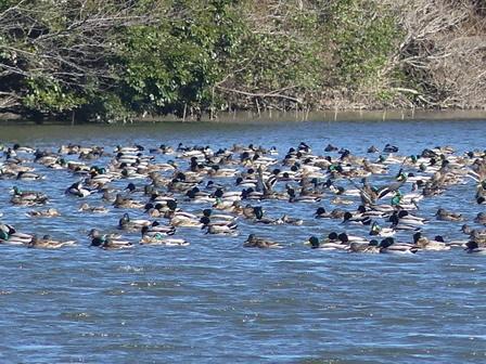 水辺の鳥の観察_a0123836_16434300.jpg
