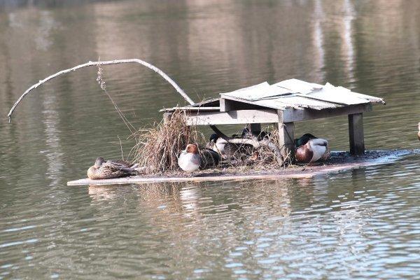 鴨のいる池 X-E2 Nikkor ED80-200mm/2.8_e0129750_21264347.jpg