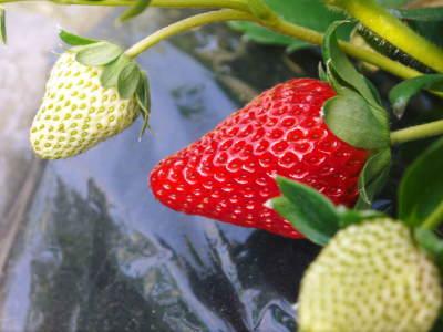 熊本産高級イチゴ『完熟紅ほっぺ』完熟の美味さ!朝採りの新鮮さ!こだわり減農薬栽培の安全性!が大好評!!_a0254656_17383572.jpg