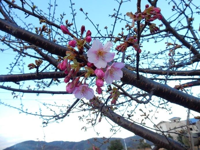 今日の河口の桜_e0175370_21225598.jpg