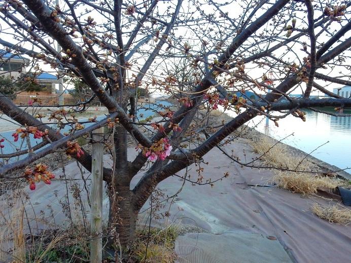 今日の河口の桜_e0175370_21230946.jpg