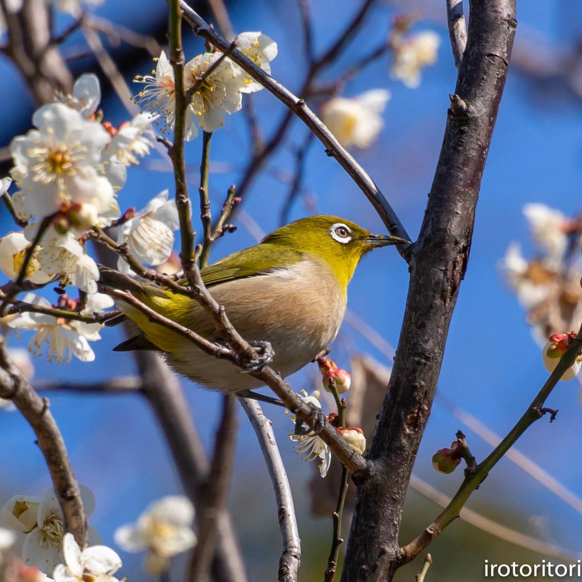 梅が咲いてました〜!!  (メジロ)  2020/02/08_d0146592_01165881.jpg