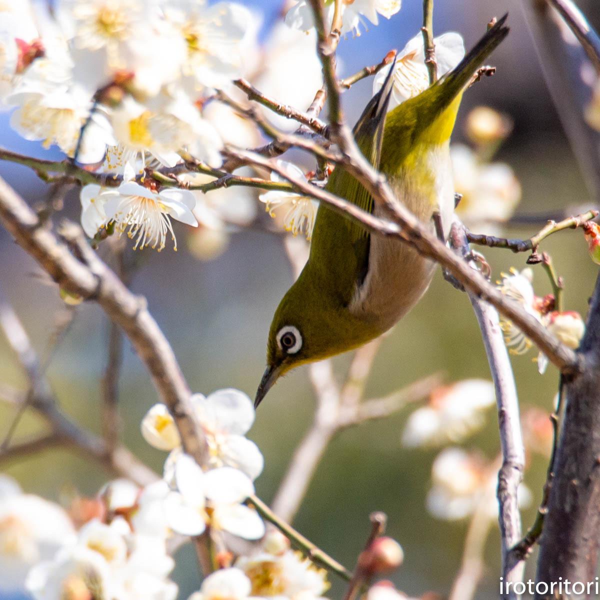 梅が咲いてました〜!!  (メジロ)  2020/02/08_d0146592_01170682.jpg