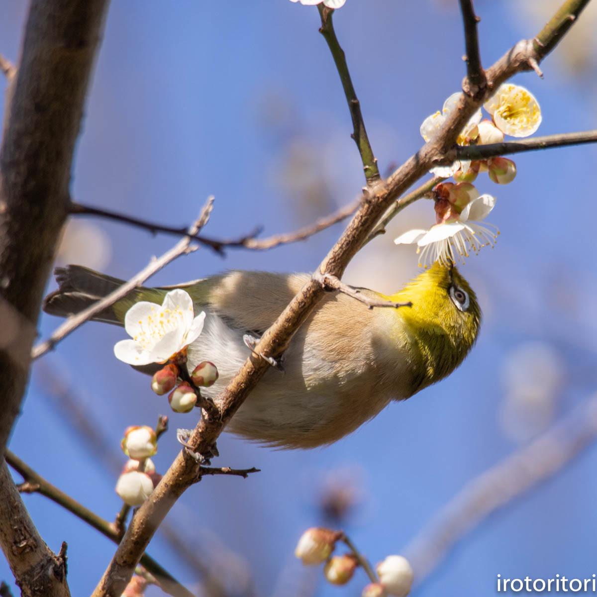 梅が咲いてました〜!!  (メジロ)  2020/02/08_d0146592_01171451.jpg
