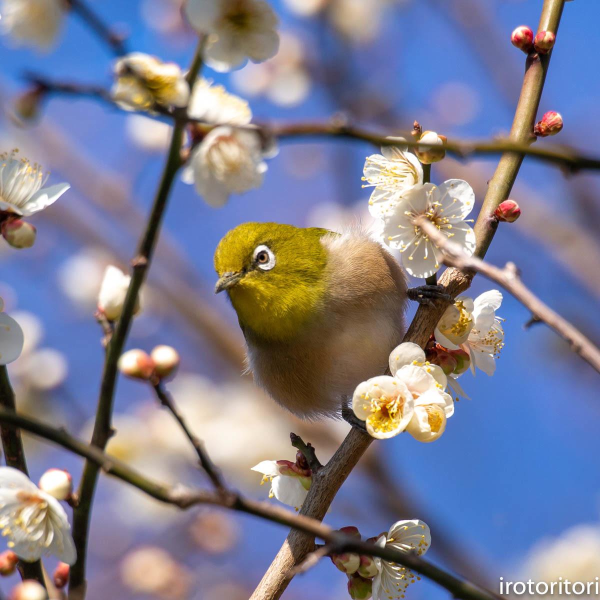 梅が咲いてました〜!!  (メジロ)  2020/02/08_d0146592_01172288.jpg