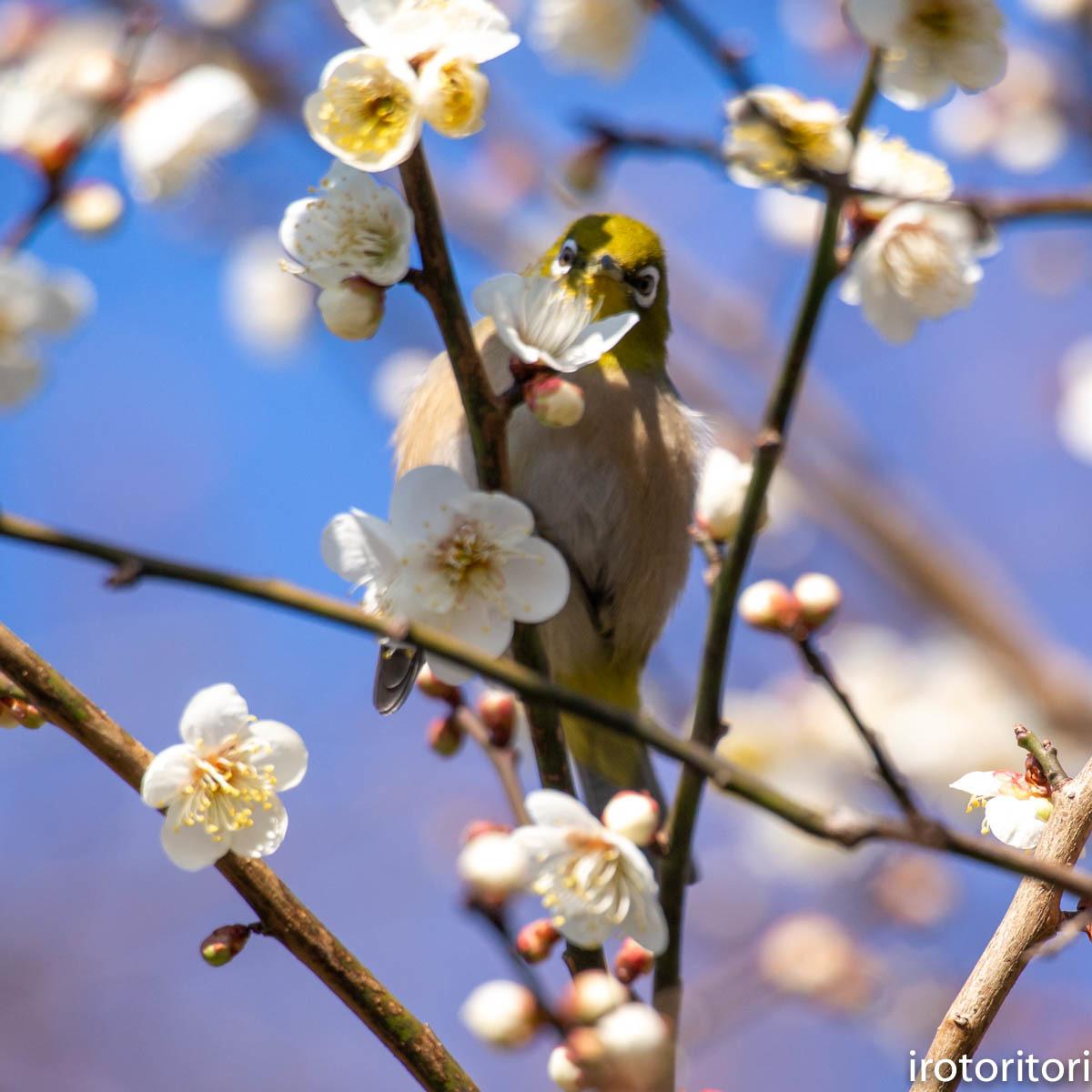 梅が咲いてました〜!!  (メジロ)  2020/02/08_d0146592_01172934.jpg